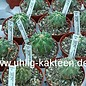 Copiapoa carrizalensis  WK 773 Chile (OS)