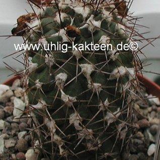 Copiapoa echinoides