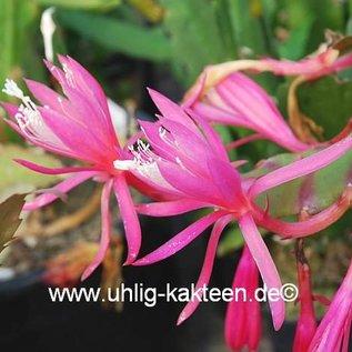 Disophyllum-Hybr. Claudia