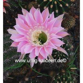 Echinopsis-Hybr. `Waltraud`