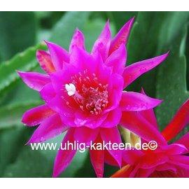 Epiphyllum-Hybr. Antonietta Paetz