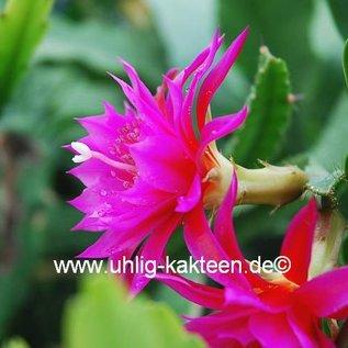Epiphyllum-Hybr. `Antonietta Paetz`