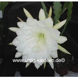 Epiphyllum-Hybr. College Queen
