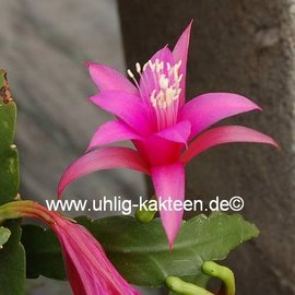 Disophyllum-Hybr. Delicate Jewels