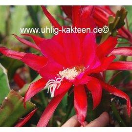 Epiphyllum-Hybr. Elisabeth Paetz