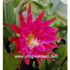 Epiphyllum-Hybr. Harry Paetz