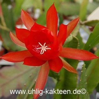 Epiphyllum-Hybr. Lilli Paetz