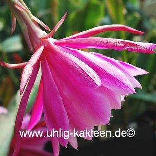Epiphyllum-Hybr. Melanie Paetz