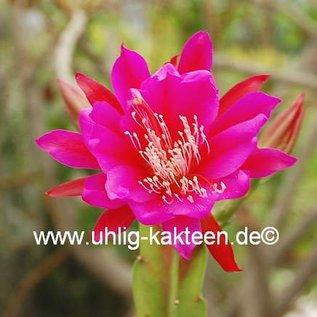 Epiphyllum-Hybr. Roger Paetz