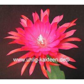 Epiphyllum-Hybr. Ruby Pinwheel
