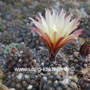 Neochilenia setosiflora