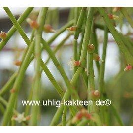 Rhipsalis micrantha  ssp. kirbergii
