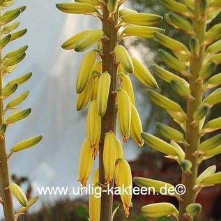Aloe vera  syn. barbadensis XL