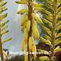 Aloe vera syn. barbadensis HEILALOE  XL