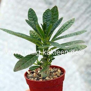 Dorstenia gigas    Socotra, Yemen