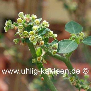 Euphorbia guiengola  Rauh 16163 Mexico