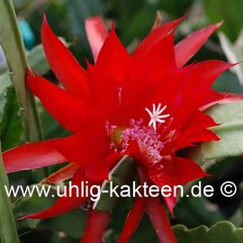 Epiphyllum-Hybr. Betti Paetz