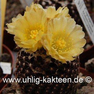 Copiapoa tenuissima  FR 540 (Seeds)