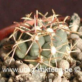 Glandulicactus crassihamatus        (Graines)