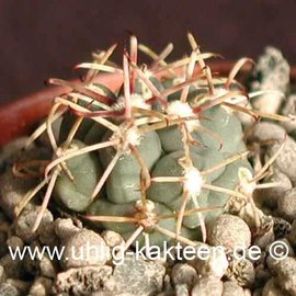 Glandulicactus crassihamatus        (Samen)