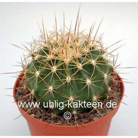 Ferocactus pottsii  v. alamosanus