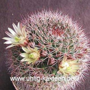 Mammillaria brandegeei subsp. gabbii  El Arco, Baja California