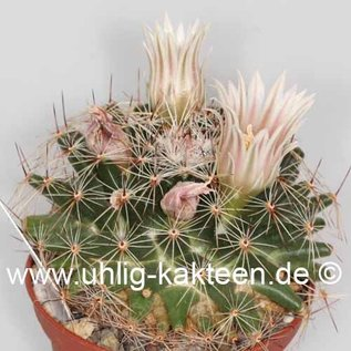 Mammillaria heyderi v. applanata