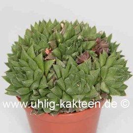 Haworthia cymbiformis Yo 2152 v. multifolia