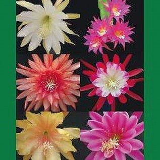 Epiphyllum Volume 3 Frank Süpplie