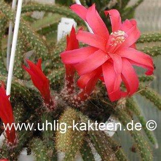 Aporophyllum-Hybr. Leptohis