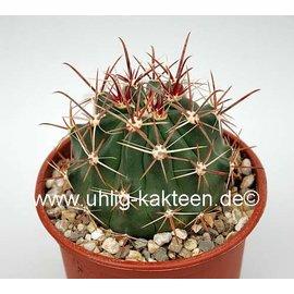 Ferocactus townsendianus X santa-maria