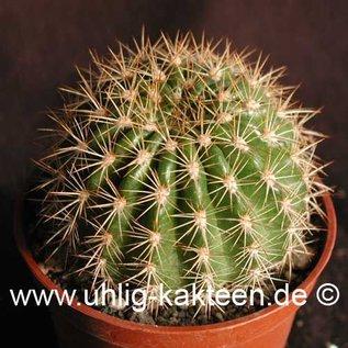 Echinopsis mamillosa v. kermesina  (Samen)