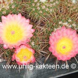 Notocactus roseoluteus        (Samen)