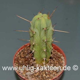Trichocereus bridgesii        (Seeds)