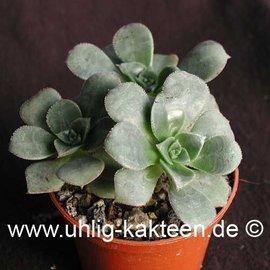 Aeonium haworthii        (Samen)