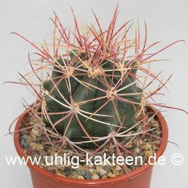 Ferocactus X lecontei Born 453/1968       (Seeds)