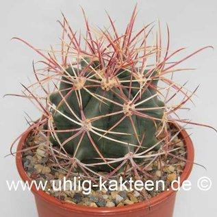 Ferocactus X lecontei Born 453/1968       (Samen)