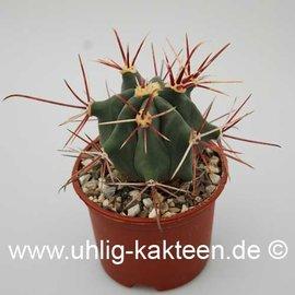 Ferocactus pottsii  X rectispinus F2      (Seeds)