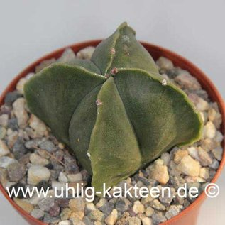 Astrophytum myriostigma v. nudum cv. quadricostata  (Samen)