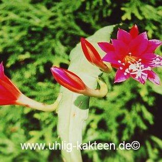 Epiphyllum-Hybr. Püppi Paetz