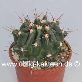 Hamatocactus sp.n.   Santa Cliesa
