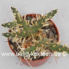 Tephrocactus geometricus    gepfr.
