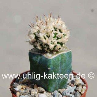 Astrophytum ornatum cv. Fukuryu Hanya Haku-Jo Dinosaur   gepfr.