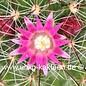 Mammillaria claviformis  Rep 1462 Blüte pink