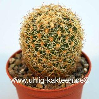 Coryphantha pseudoradicans  FO 047