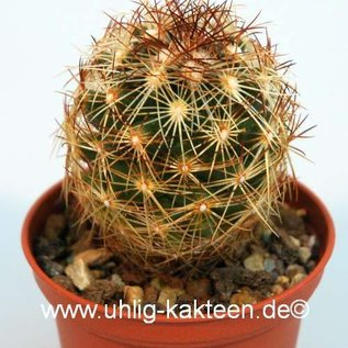 Coryphantha nickelsiae