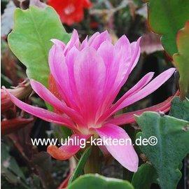 Epiphyllum-Hybr. Casa de lima