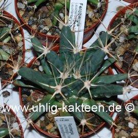 Ferobergia Leuchtenbergia  x Violet