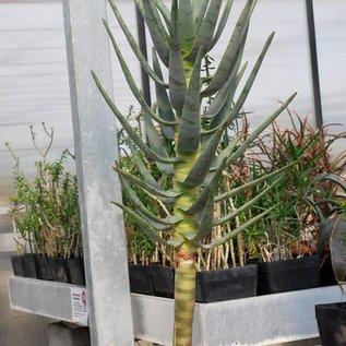 Aloe dichotoma       XL