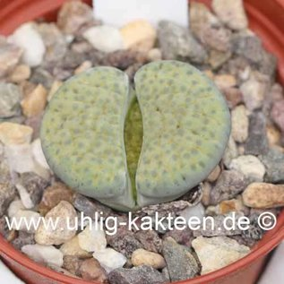 Lithops fulviceps v. fulviceps Aurea C 363